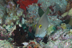 BD-130709-Maldives-9955-Acanthurus-tristis.-Randall.-1993-[Indian-Ocean-mimic-surgeonfishsurgeonfish].jpg